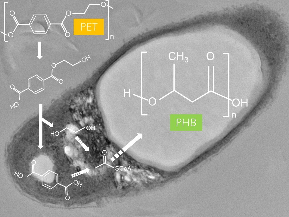 How a bacterium may help solve the plastic pollution crisis