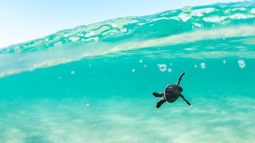 Baby turtles consume more plastic than adults due to eating habits, study finds