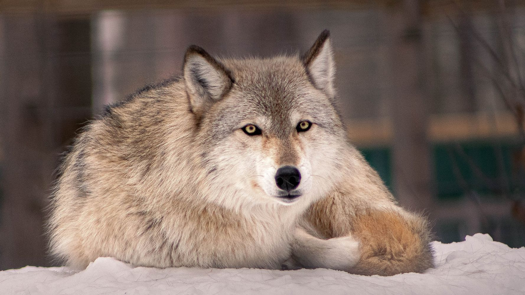 Idaho Gov. Signs Bill To Allow Killing 90% Of State's Wolves