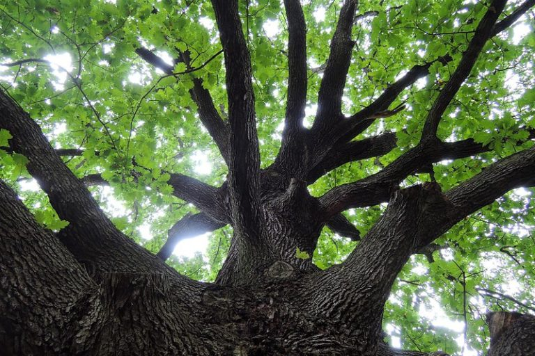 Nearly one-third of all oak species threatened with extinction, report says