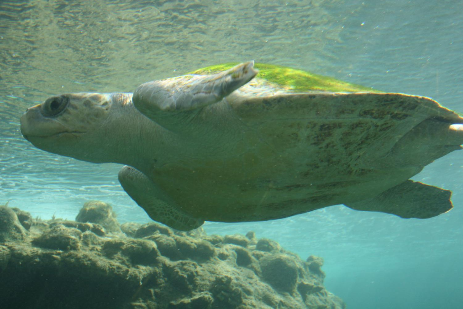 Plastic creates 'evolutionary trap' for young sea turtles