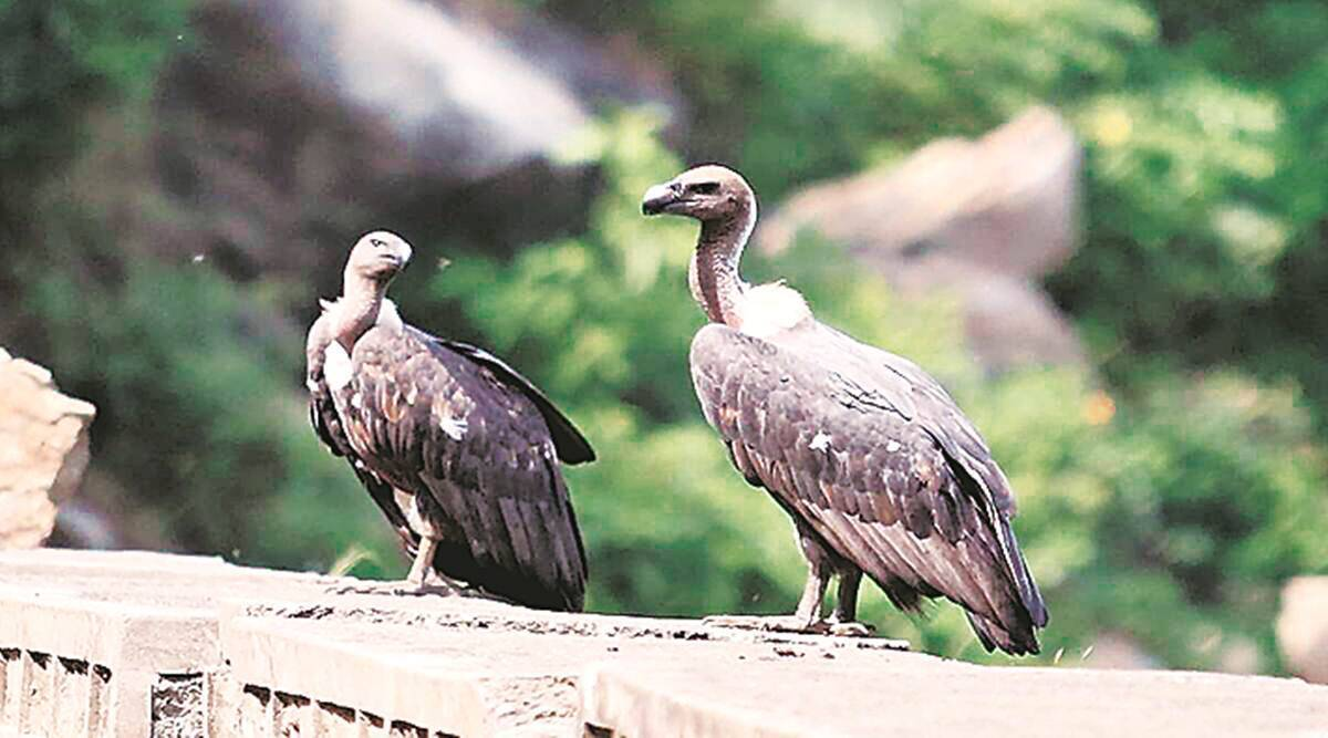 Two more vulture species to be conserved at Pinjore centre, decides Central Zoo Authority
