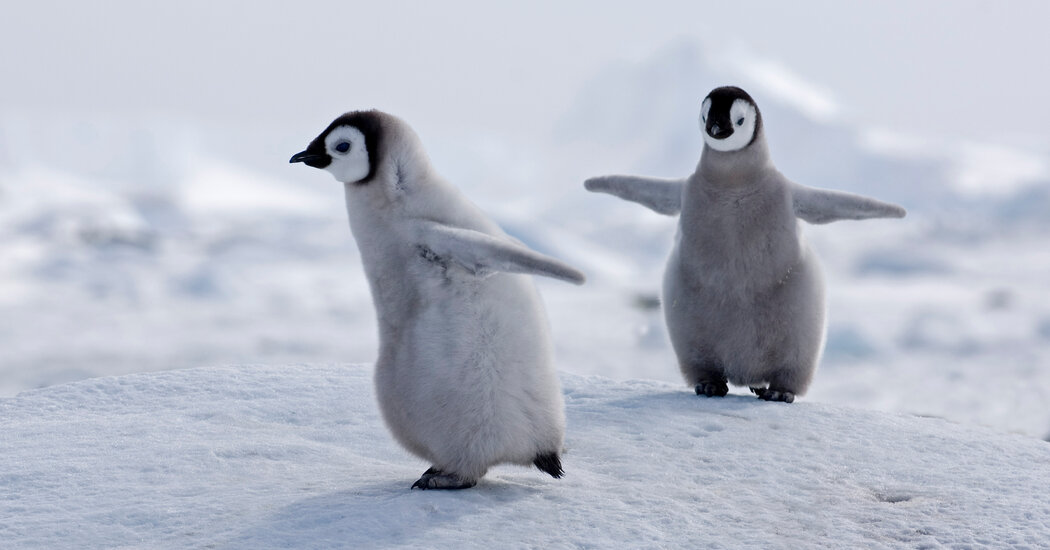 Climate Change Could Devastate Emperor Penguins, U.S. Officials Warn