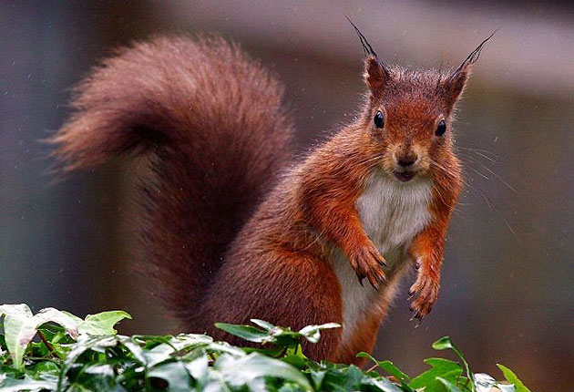 Red squirrel 'superhighway' planned for ambitious rewilding project in Scotland