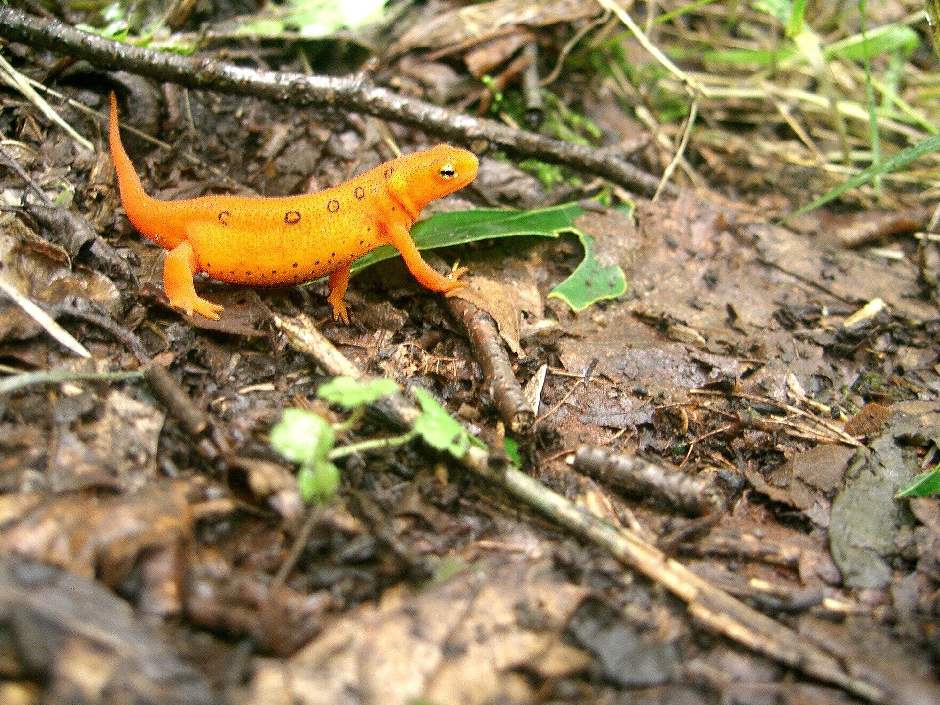 Temperature affects susceptibility of newts to skin-eating fungus