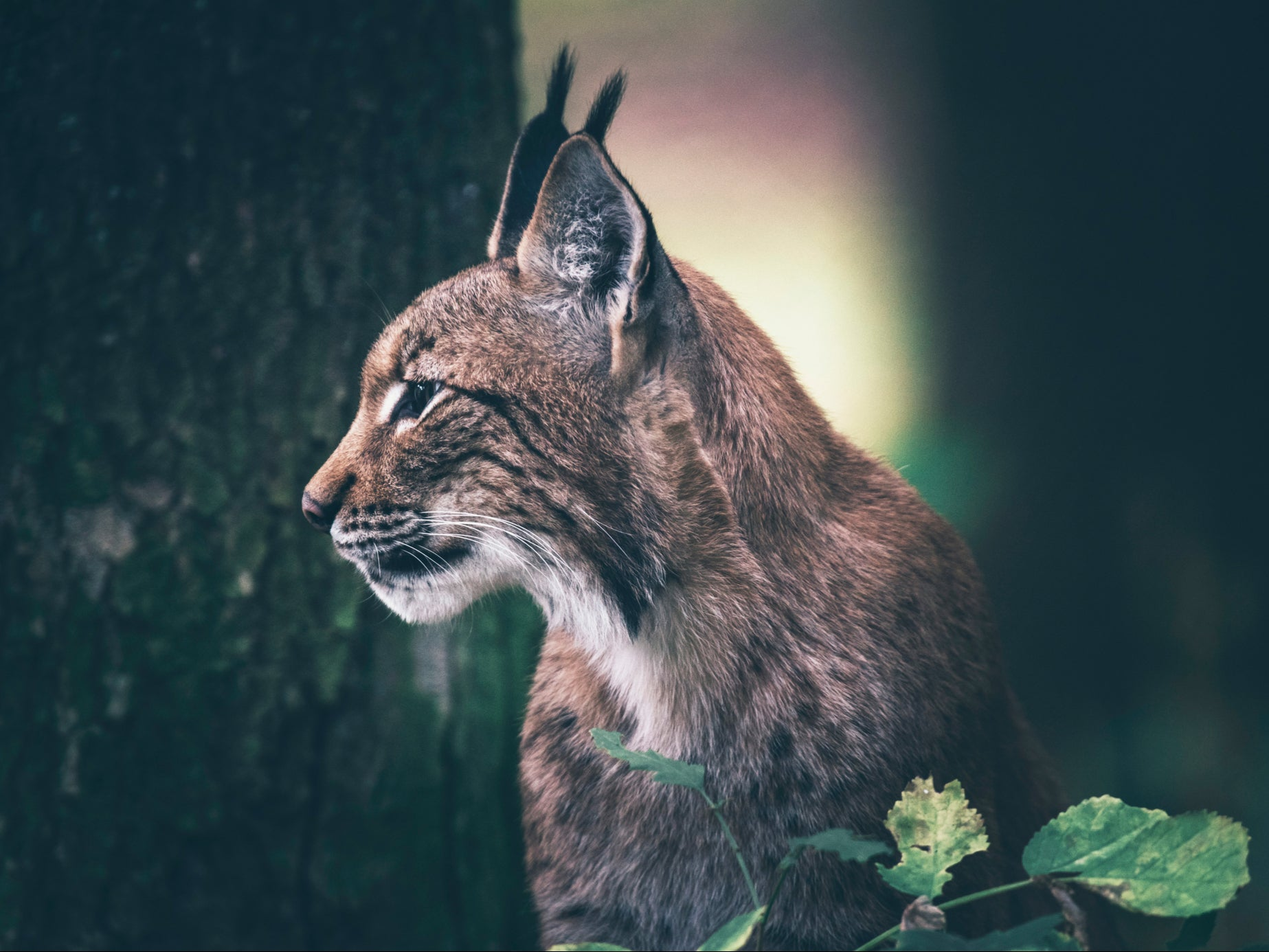 Rewilding: Lynx study aims to reintroduce wild population of cats to Scotland