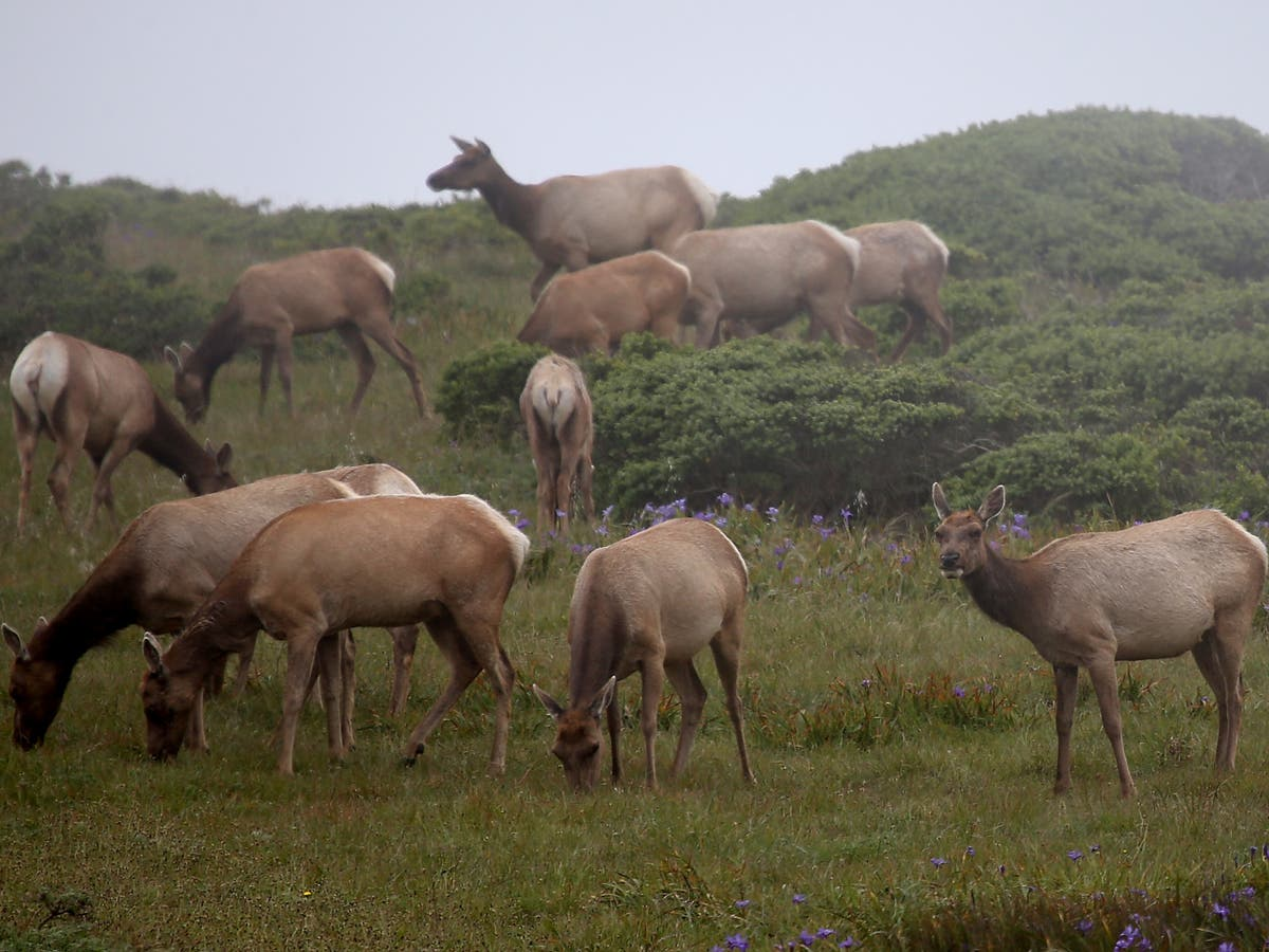 Dozens of rare elk die in California due to drought linked to climate crisis