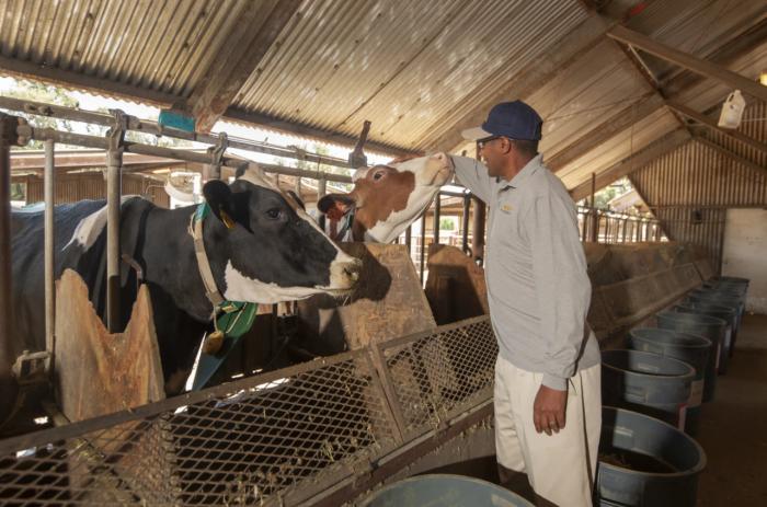 研究称海藻补充剂可将牛的甲烷排放量减少82%