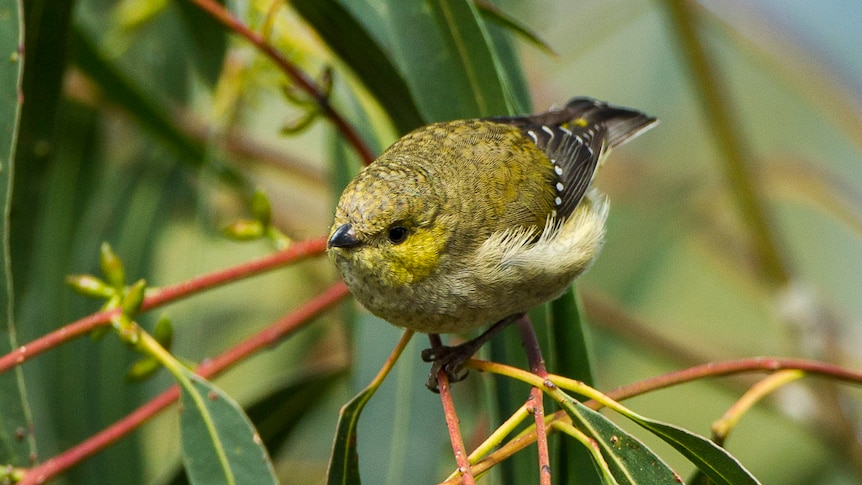 Erin Bok is on a rare mission — she's trying to save the forty-spotted pardalote