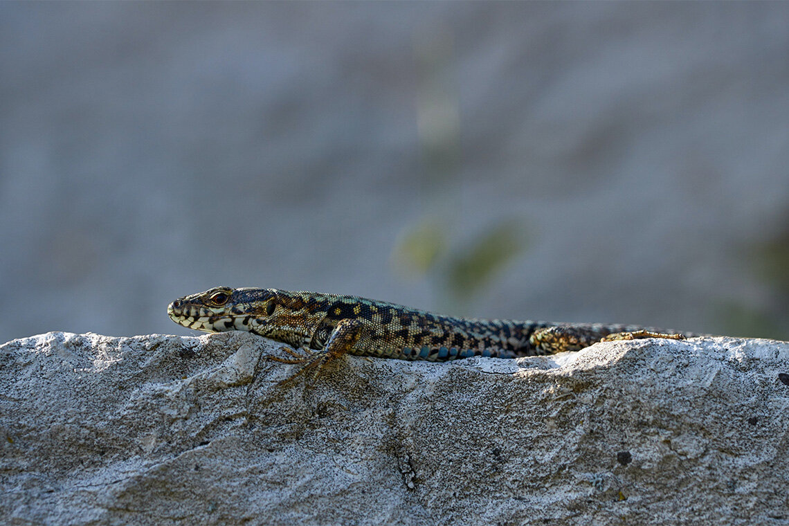 How can lizards adapt to a changing climate?