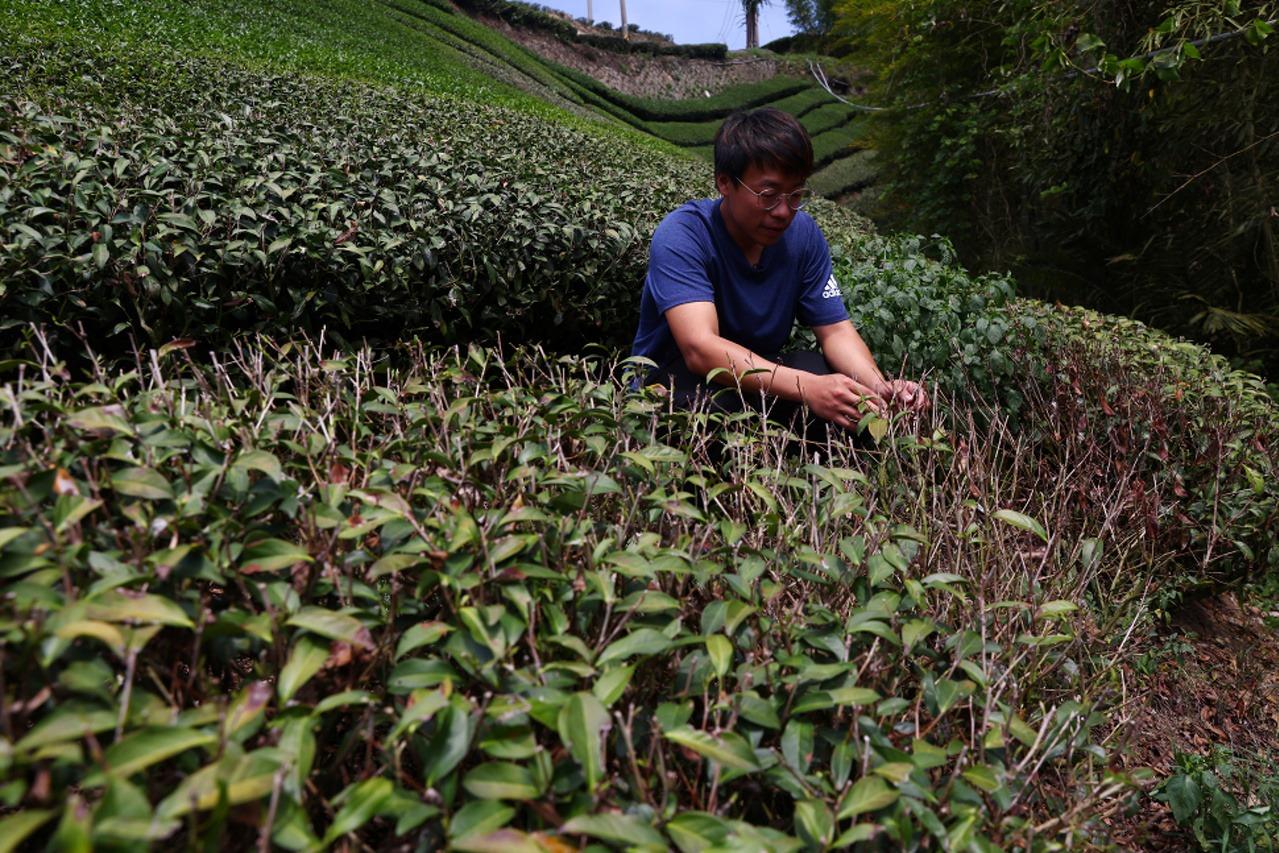 極端天氣衝擊  台灣茶農苦不堪言