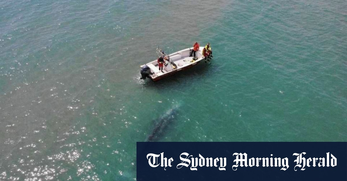 Experts baffled by rare grey whale lost in the Med