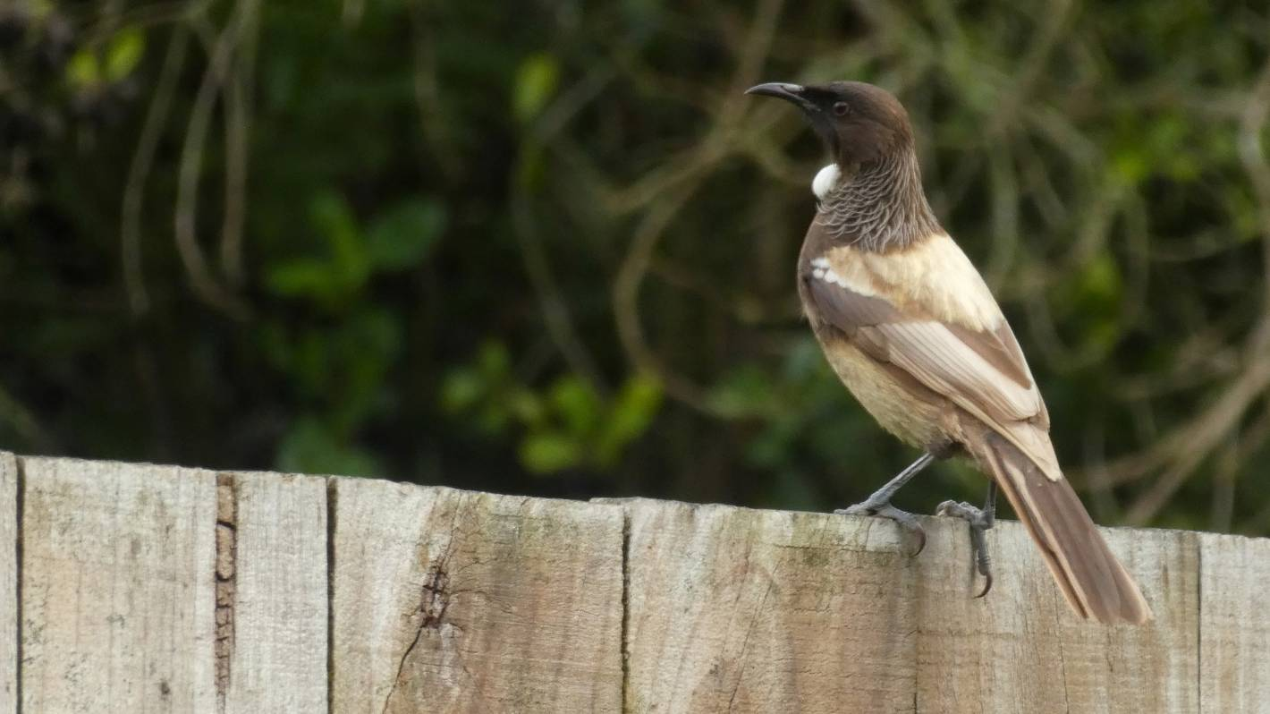 Rare mutant brown tui being seen more regularly in Hamilton