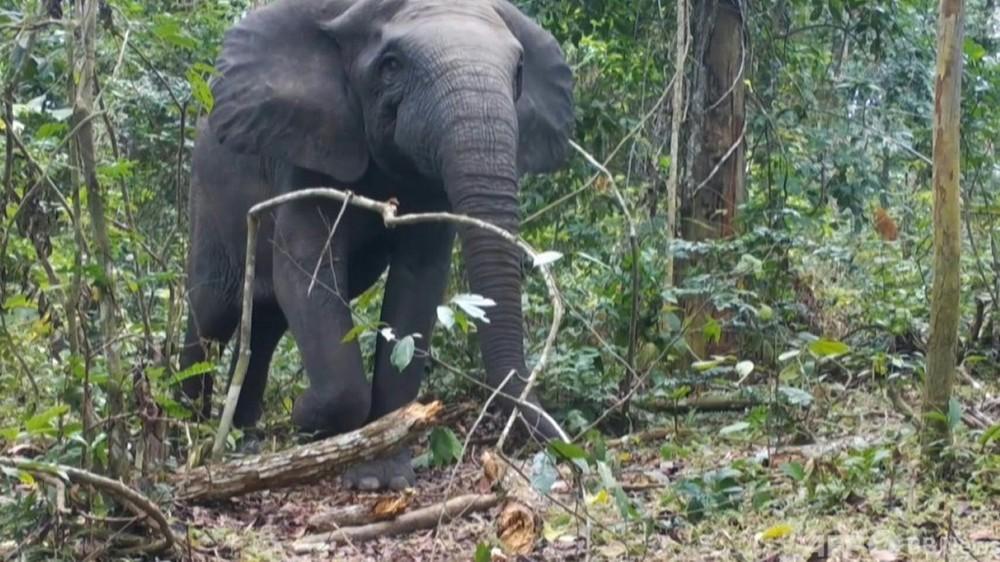 動画:アフリカゾウを2種に分類、1種は「絶滅寸前」 IUCN最新レッドリスト