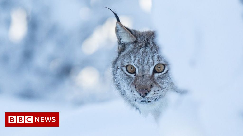Into the wild: Could lynx be reintroduced to Scotland?