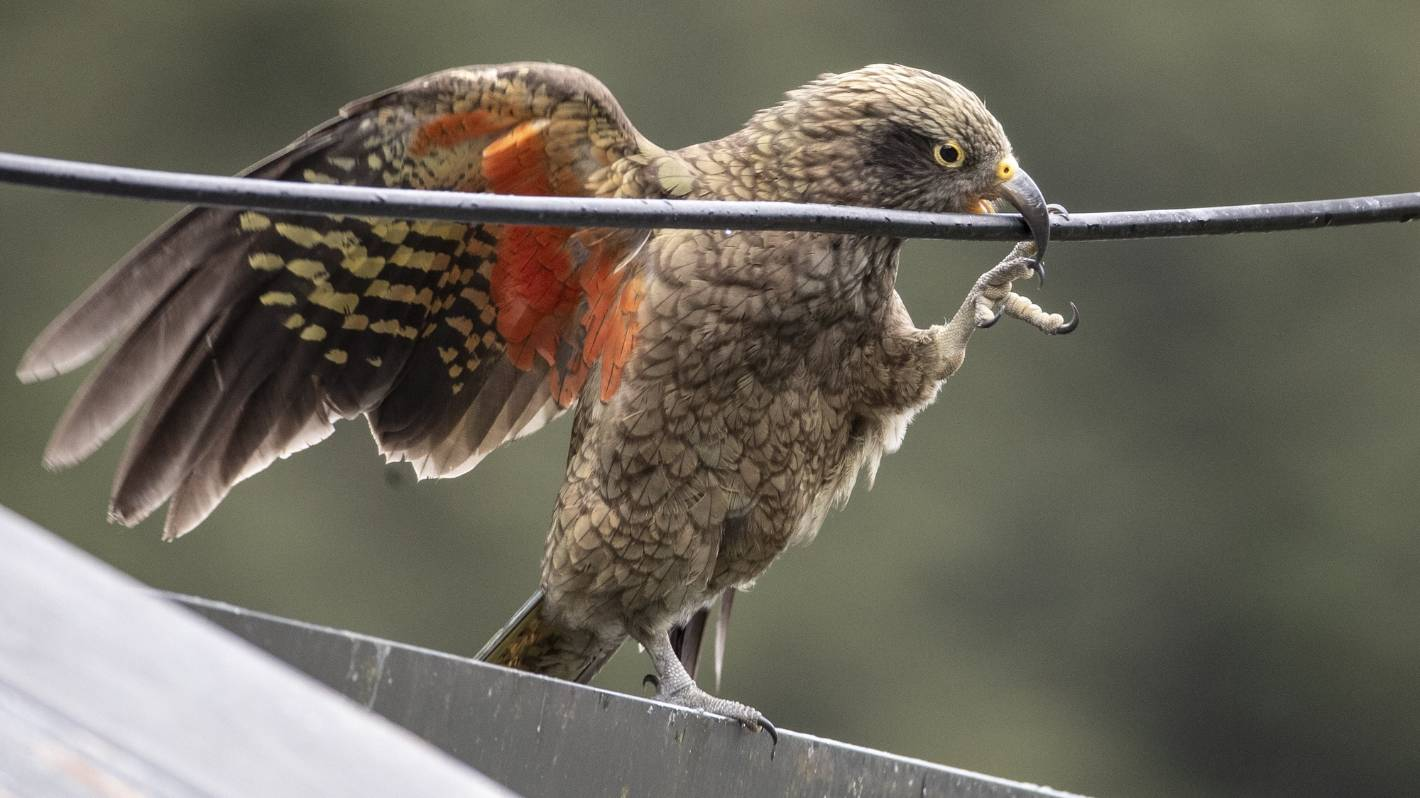 This Is How It Ends: As old as the Southern Alps, kea are on the edge of extinction